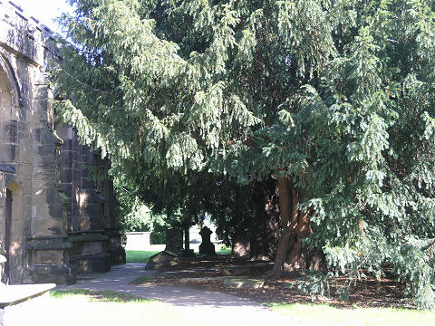 The trees undermining St. Michael's Church, Wragby
